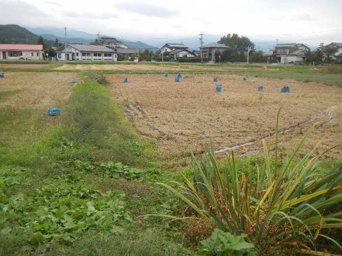粳稲脱穀作業 (2)
