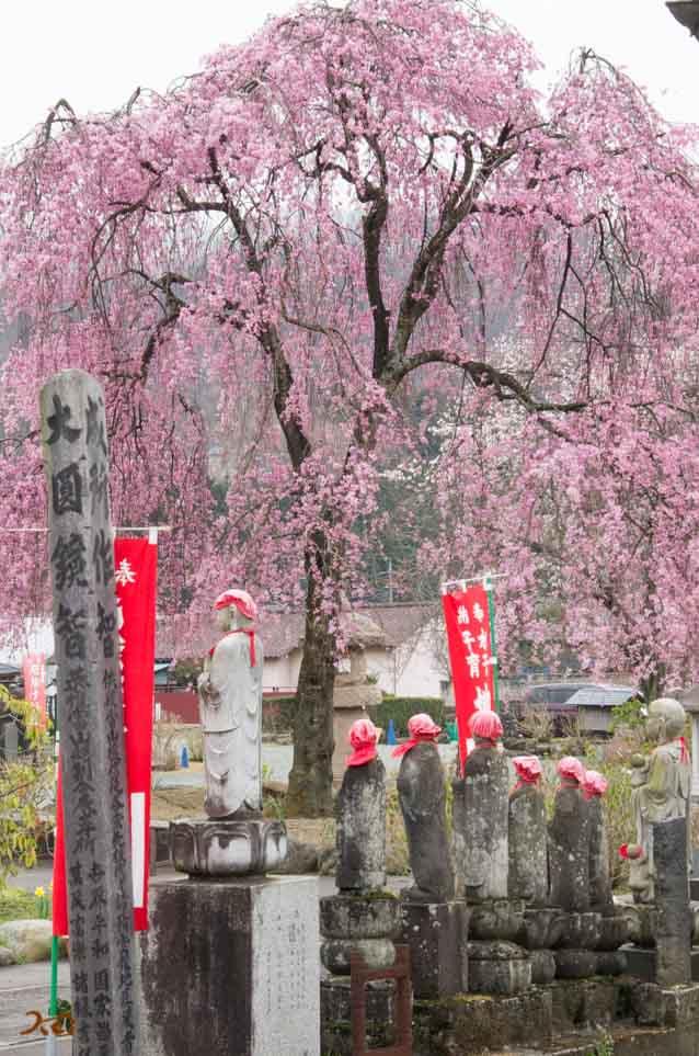 20160402桜_大間々松源寺11