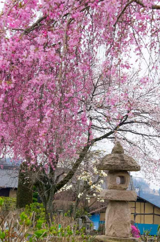 20160402桜_大間々松源寺12