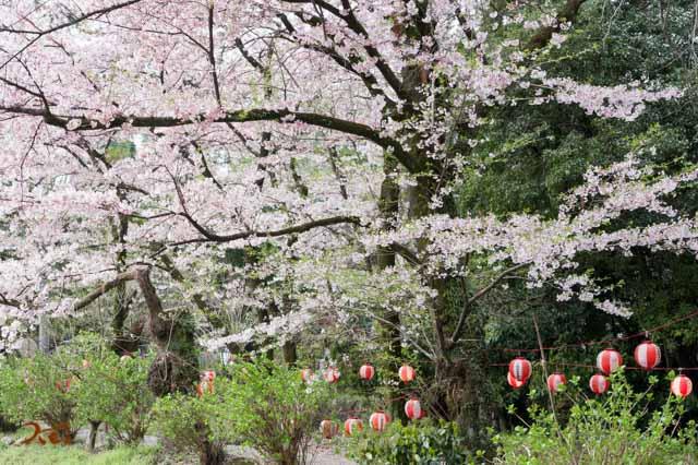 20160410苗ヶ島町桜まつり11