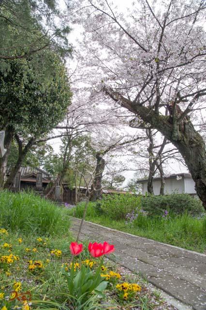 20160410苗ヶ島町桜まつり06
