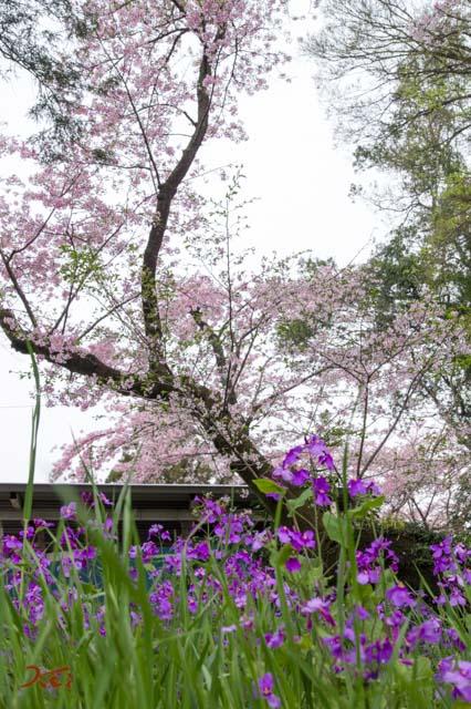 20160410苗ヶ島町桜まつり08