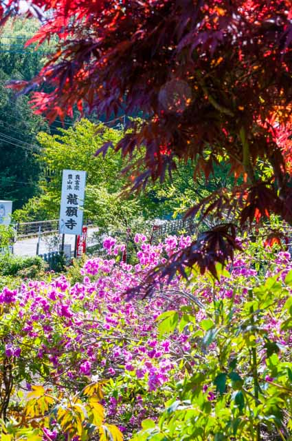 20160504龍願寺ぼたん祭り前半11