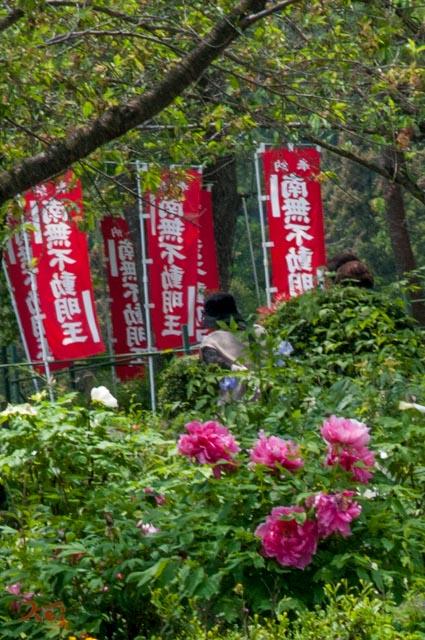 20160515龍願寺ぼたん祭り06