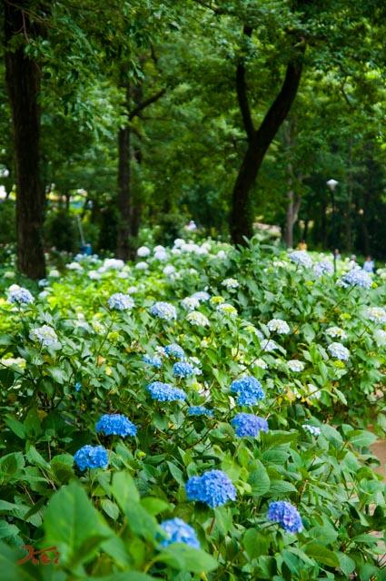 20160612アジサイ_荻窪公園13