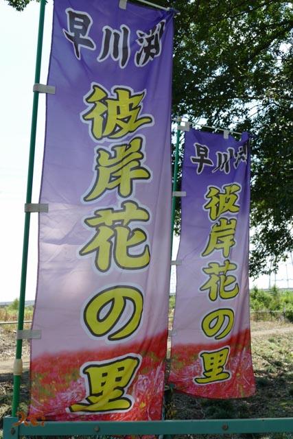 20160924彼岸花_早川渕03