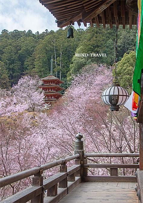 長谷寺 五重塔 桜2
