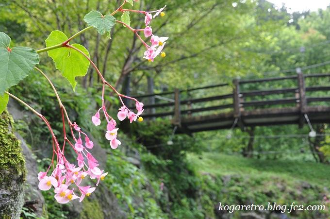 出流ふれあいの森の秋海棠3