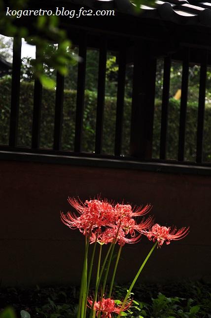 2016鷹見泉石記念館の彼岸花4
