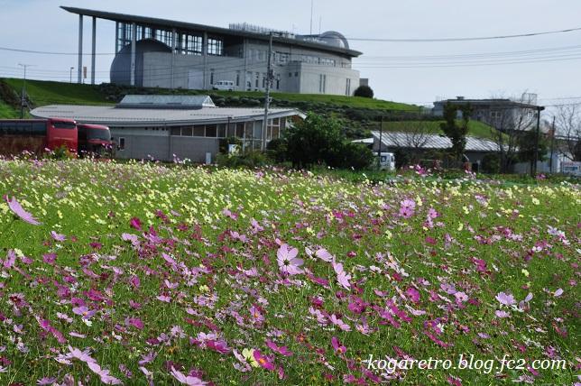 2016加須未来館のコスモス