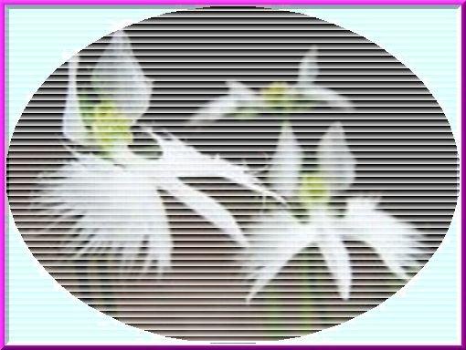鷺草ブラインド