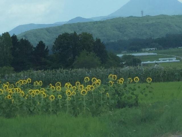 小さなひまわり畑