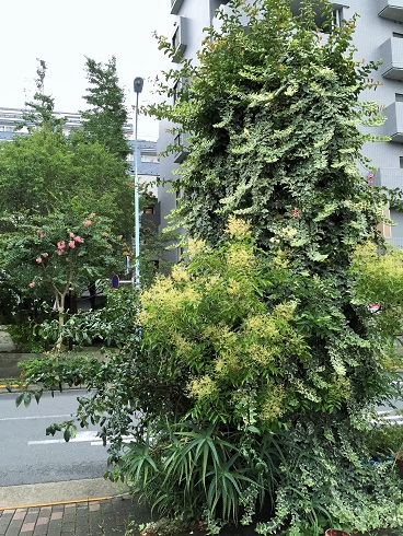 高円寺の街路樹2016_07
