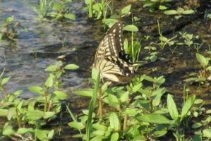 淡路のアゲハチョウ