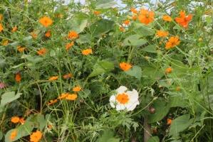 広町公園、黄花に白花