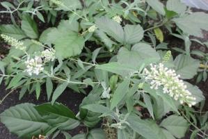 七沢の白花