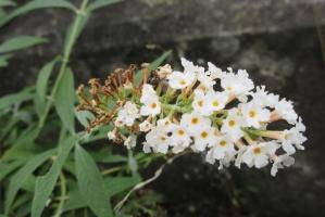 七沢、白い花