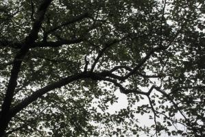 10月2日の桜の木