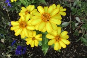 大手公園の黄花