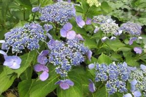 大手公園の紫陽花