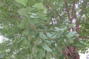 大手公園の銀杏の葉