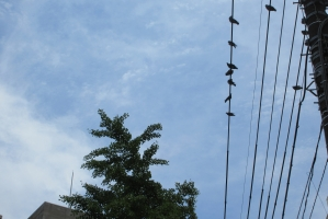 大手公園脇の電線の鳩たち