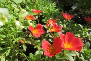 大手公園の赤花