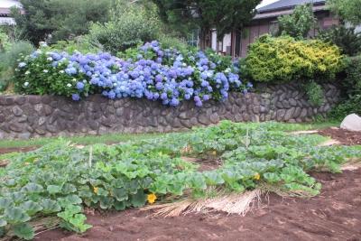 上古沢の紫陽花