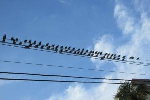 鳩が電線に・・
