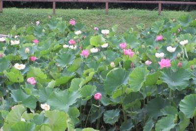 蓮の花、たくさん