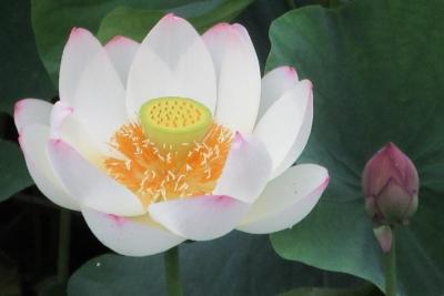 蓮の花、アップ