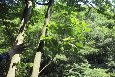 朴の木と手