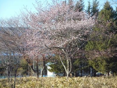 桜前線仁伏着