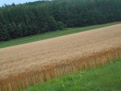 小麦熟れる