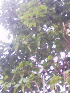 青柿 160901_0554~002