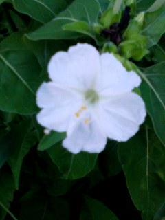 おしろい花 160910_1636~001