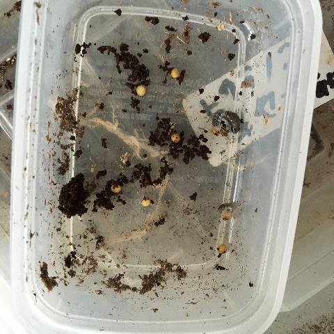トカラ卵幼虫