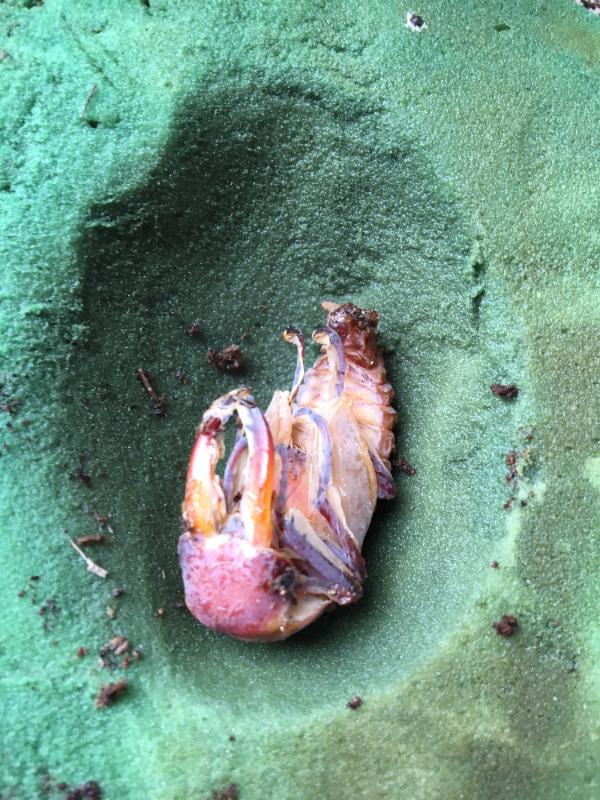 アマミノコ蛹