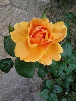 薔薇 ロイヤルサンセット