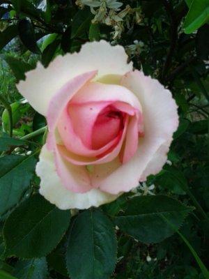 薔薇 ピエール