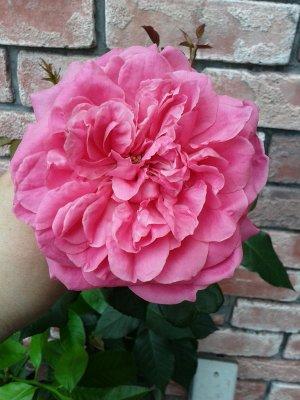 薔薇 パレード