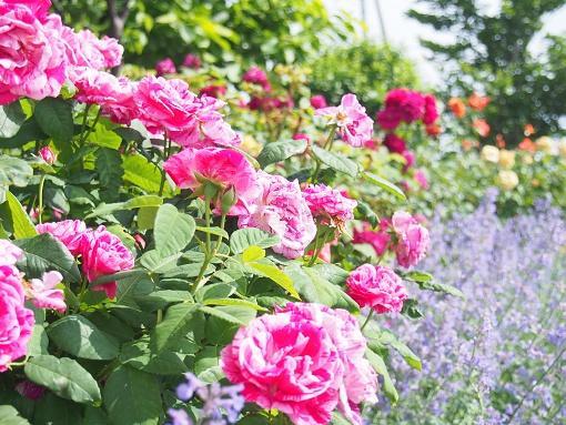 rose16-1.jpg