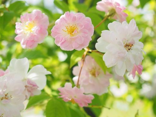 rose16-4.jpg