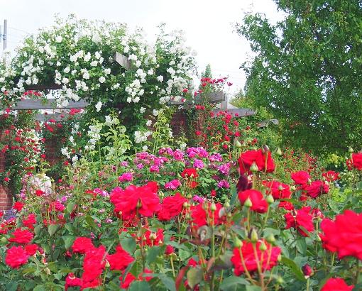 rose16-5.jpg