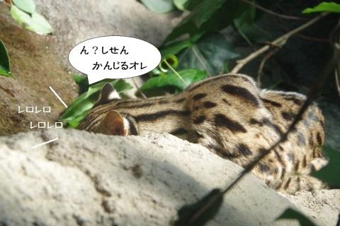 福岡市動物園在住のLeopard Cat /ベンガルヤマネコ「ベガ♂」君。