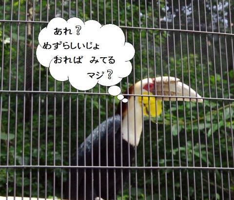 Wreathed Hornbill / ブッポウソウ目 サイチョウ科シワコブサイチョウ トト君