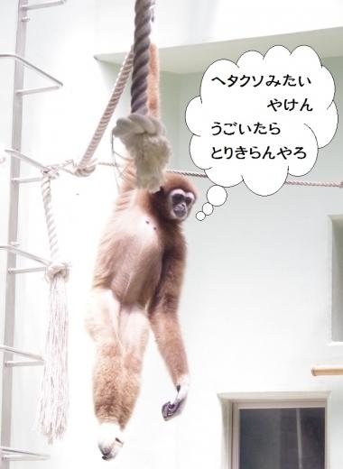 White-handed Gibbon / 霊長目 テナガザル科