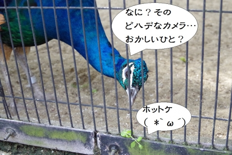 福岡市動物園のクジャク