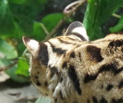 ヤマネコの耳の裏