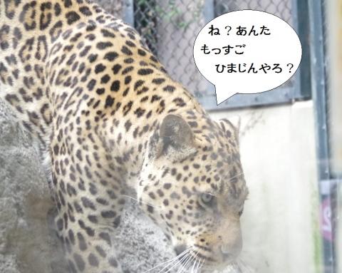 福岡市動物園のヒョウ、サン君